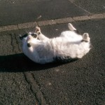 Tailless cat enjoys sun